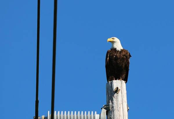 Photograph - Bald Eagle On A Power Pole  by Christy Pooschke