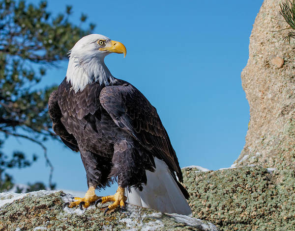 Wall Art - Photograph - Bald Eagle On Moss Rock by Dawn Key