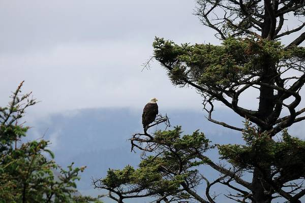Photograph - Bald Eagle On Oregon Coast  by Christy Pooschke