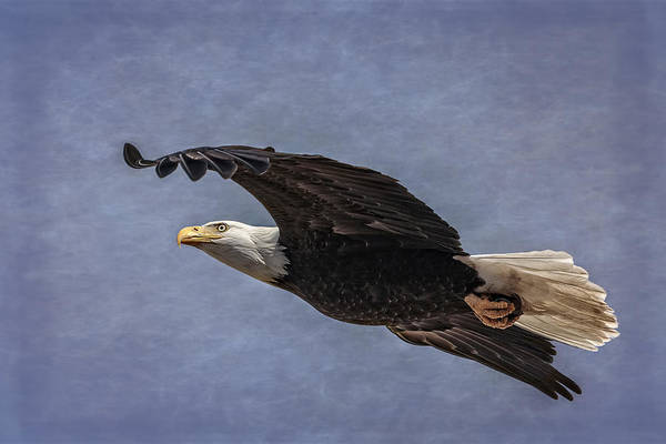 Photograph - Bald Eagle On Rice Paper by Wes and Dotty Weber
