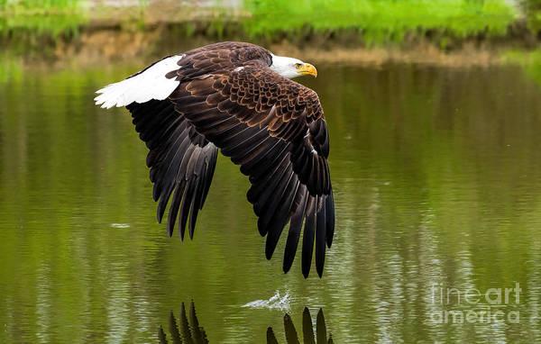 Photograph - Bald Eagle Over A Pond by Les Palenik