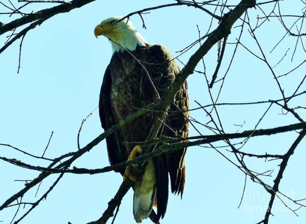 Photograph - Bald Eagle Over The Root River by Rosanne Licciardi