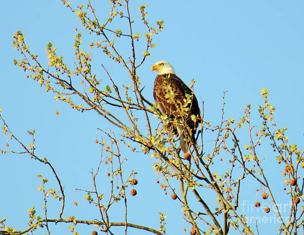 Rockville Photograph - Bald Eagle, Parke County, Indiana by Steve Gass