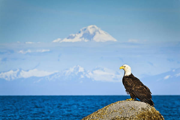 Mount Redoubt Photograph - Bald Eagle Perched On A Rock by Sunny Awazuhara- Reed