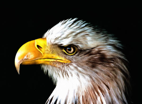 Photograph - Bald Eagle Portrait by Isabella Howard