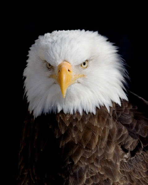 Wall Art - Photograph - Bald Eagle Portrait by Laurie With