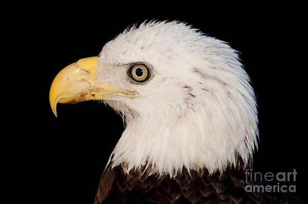Photograph - Bald Eagle Portrait by Photos By Cassandra