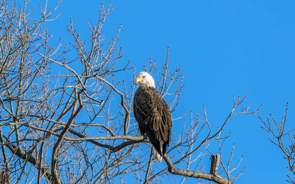 Photograph - Bald Eagle Pride by Patrick Wolf
