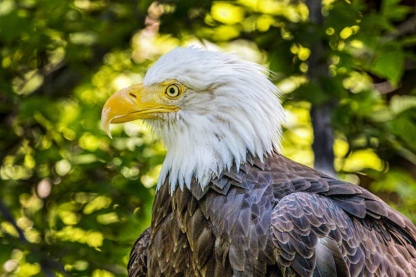 Wall Art - Photograph - Bald Eagle Profile 3 by Dawn Key