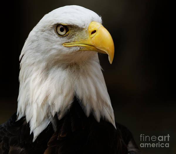 Photograph - Bald Eagle - Proud by Sue Harper