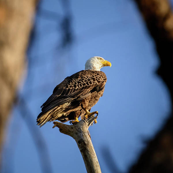 Photograph - Bald Eagle by Robert Mitchell