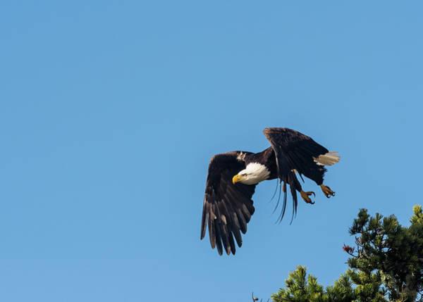 Photograph - Bald Eagle by Robert Potts