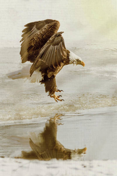 Photograph - Bald Eagle Series #1 - Eagle Is Landing by Patti Deters