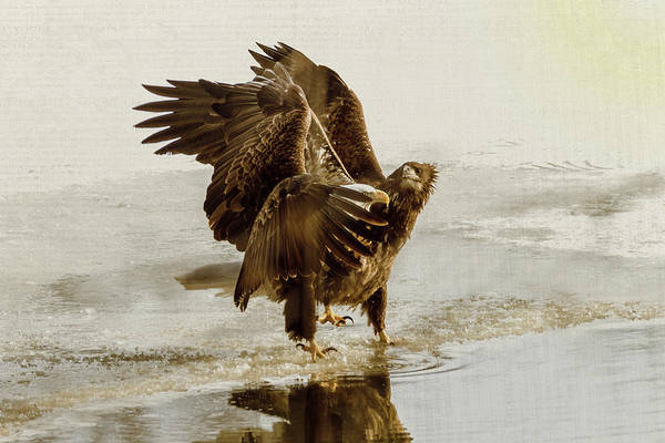 Photograph - Bald Eagle Series #13 Ruffled Feathers by Patti Deters