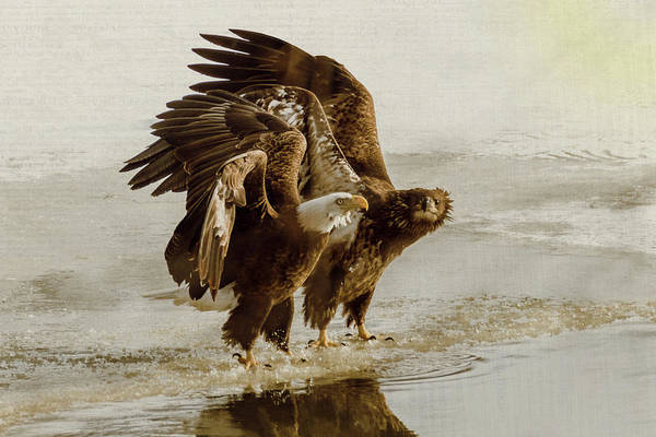 Photograph - Bald Eagle Series #14 Calming Down by Patti Deters