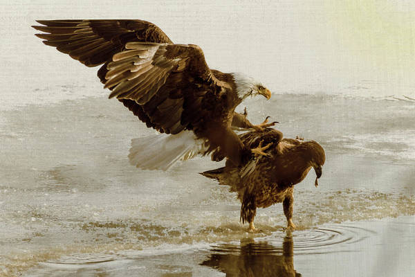 Photograph - Bald Eagle Series #5 Big Jump by Patti Deters