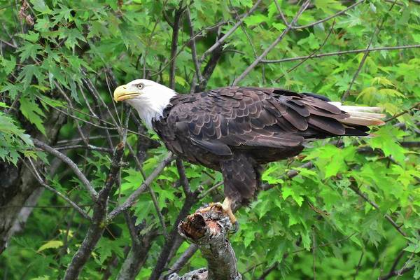 Photograph - Bald Eagle Sitting Pretty by Don Mercer