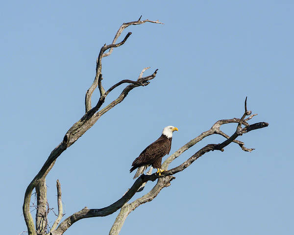 Photograph - Bald Eagle Surveying His Territory by Dawn Currie