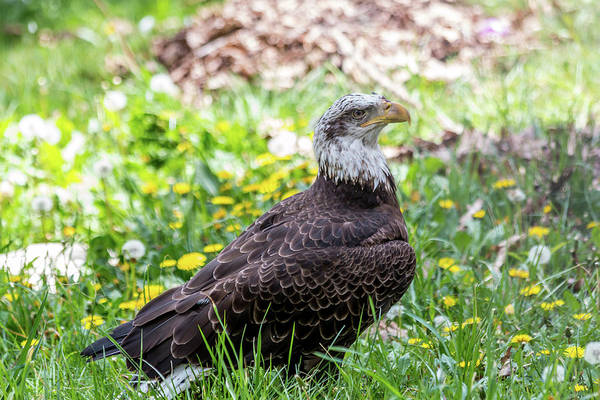 Photograph - Bald Eagle by Susie Weaver