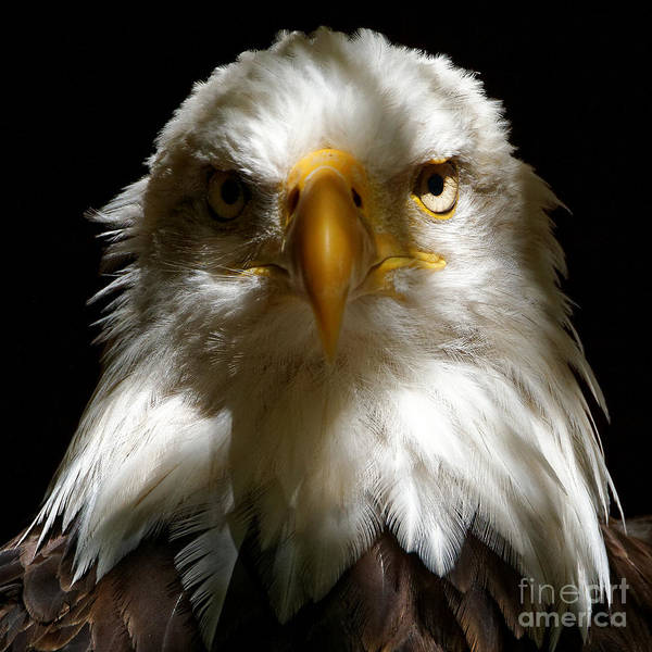 Photograph - Bald Eagle - Symbol Of Strength And Freedom by Sue Harper