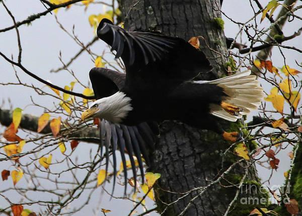 Photograph - Bald Eagle Takes Flight by Sue Harper