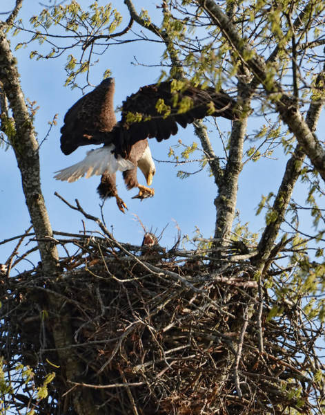 Photograph - Bald Eagle Taking Fish To Nest 031520169678 by WildBird Photographs