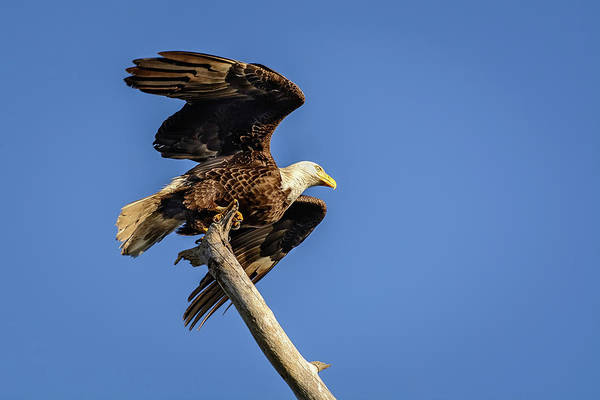 Photograph - Bald Eagle Taking Flight by Robert Mitchell