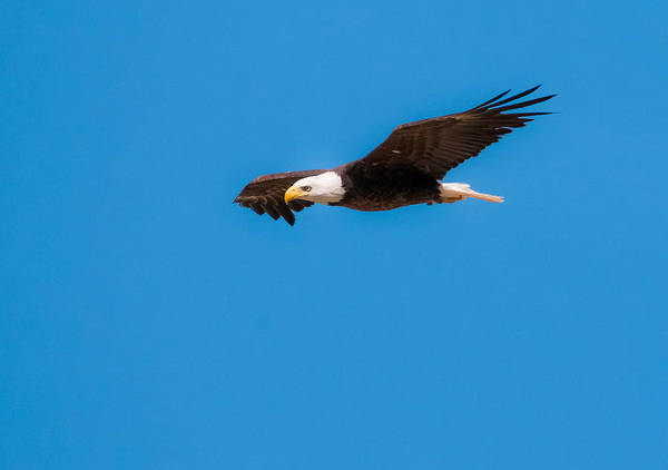 Photograph - Bald Eagle by Tam Ryan