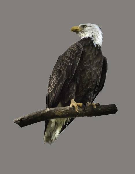 Photograph - Bald Eagle Transparency by Richard Goldman