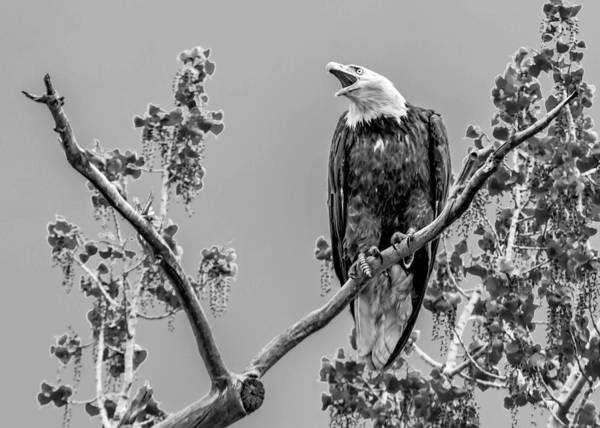Wall Art - Photograph - Bald Eagle Warning In Black And White by Dawn Key