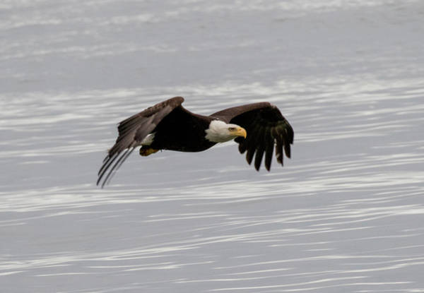 Photograph - Bald Eagle Wing Tips Down by Gloria Anderson