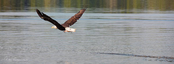 Photograph - Bald Eagle With Catch 3192 by Dan Beauvais