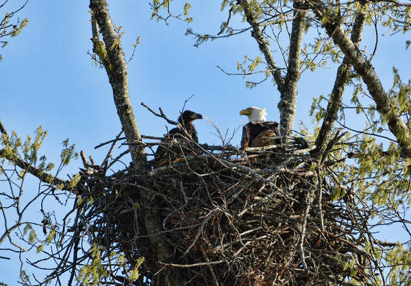 Photograph - Bald Eagle With Chick In Nest 031520169849 by WildBird Photographs