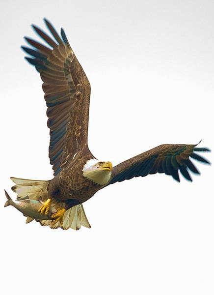 Photograph - Bald Eagle With Fish by William Jobes