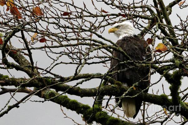 Photograph - Bald Eagles Perch by Sue Harper