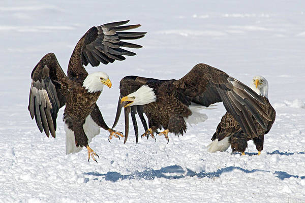 Photograph - Bald Eagle's by Wesley Aston