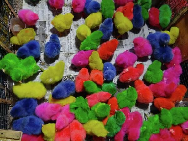 Photograph - Bali Coloured Chicks by Exploramum Exploramum