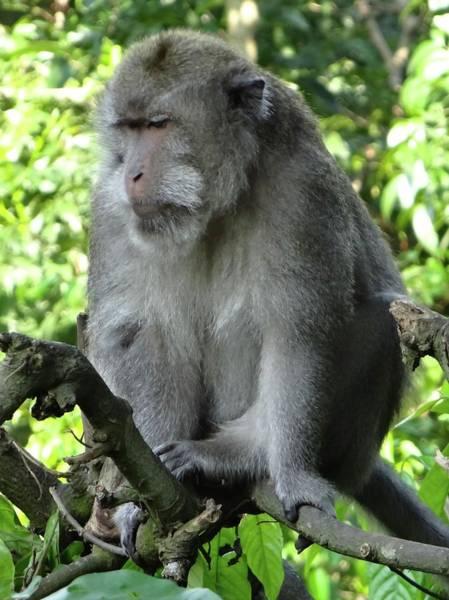 Photograph - Balinese Monkey In Tree by Exploramum Exploramum