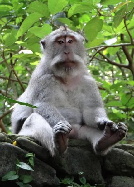 Photograph - Balinese Serious Monkey by Exploramum Exploramum