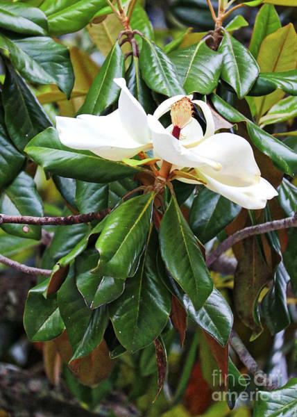 Photograph - Ballerina Magnolia Grandiflora by Carol Groenen