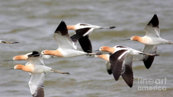 Photograph - Ballet Of The American Avocets by Wingsdomain Art and Photography