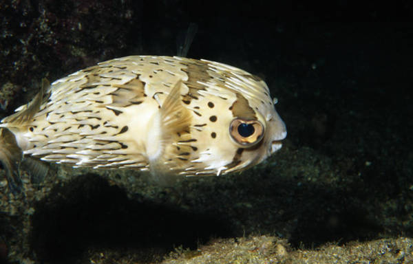 Balloonfish Photograph - Balloonfish Profile Puffer Fish, Diodon by James Forte