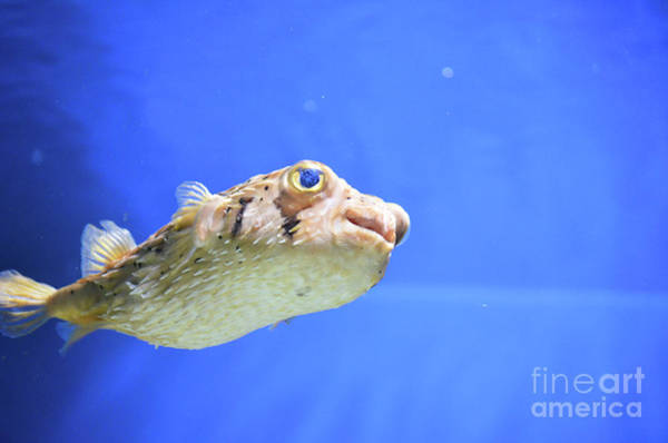 Balloonfish Photograph - Balloonfish Swimming Under Water With Quills Down by DejaVu Designs