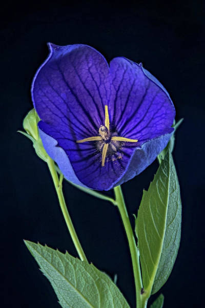 Campanulaceae Photograph - Baloon Flower In Early Morning by Douglas Barnett