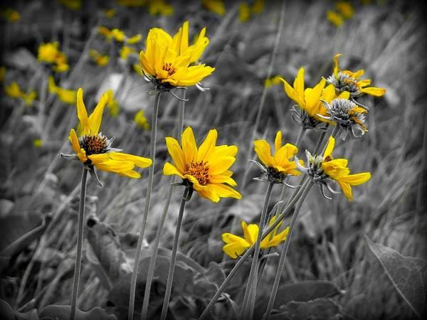 Balsamorhiza Sagittata Photograph - Balsamroot by Leah Grunzke