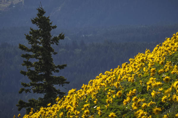 Photograph - Balsamroot On Dog Mountain by Albert Seger