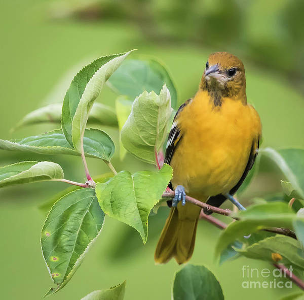 Photograph - Baltimore Oriole Closeup by Ricky L Jones