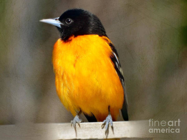 Photograph - Baltimore Oriole by Gena Weiser