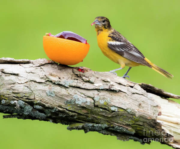 Photograph - Baltimore Oriole Having Breakfast This Morning by Ricky L Jones