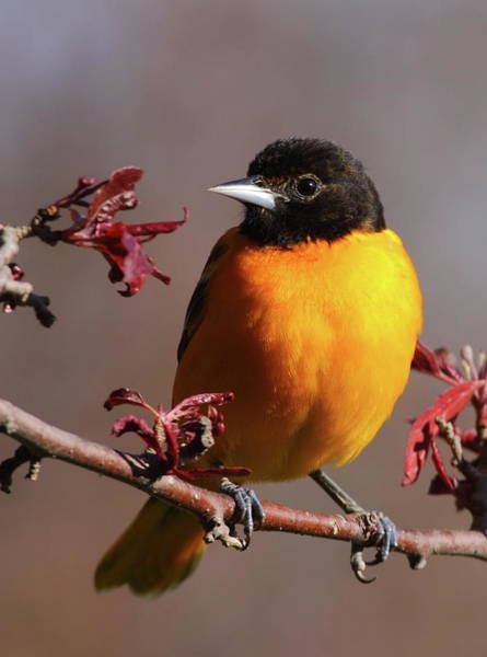 Orioles Wall Art - Photograph - Baltimore Oriole II by Bruce J Robinson